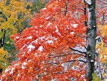 Red Maple Tree in Snow Stock Photos