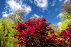 Red Maple tree in spring Royalty Free Stock Photos