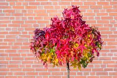 Red maple leaves on tree in autumn with wall stock images
