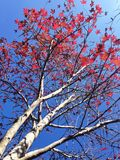 Red Maple tree. In Thai winter Stock Photos