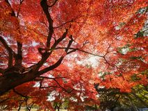 Red maple tree under sunlight Stock Image