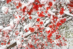 Red maple tree under white snow Royalty Free Stock Photography