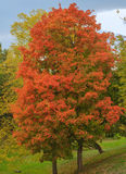 Red maple tree. Vertical photo, photo took  in the vicinities of Moscow, Russia , photo is usable on picture post card, calendar, gardening Royalty Free Stock Images
