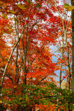 Red maple trees Stock Image