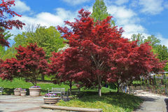 Red Maple Landscape Royalty Free Stock Photo