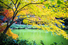 Red maple trees in a japanese garden. For adv or others purpose use Royalty Free Stock Image