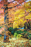 Red maple trees in a japanese garden stock photo