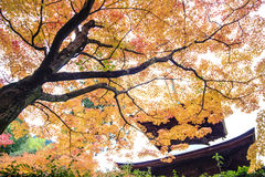 Red maple trees in a japanese garden Royalty Free Stock Images