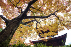 Red maple trees in a japanese garden. Kyoto, Japan - June 30, 2014: Red maple trees in a japanese garden Stock Photography