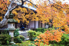 Red maple trees in a japanese garden. Kyoto, Japan - June 30, 2014: Red maple trees in a japanese garden Royalty Free Stock Image