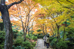 Red maple trees in a japanese garden Royalty Free Stock Image
