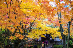 Red maple trees in a japanese garden. Kyoto, Japan - June 30, 2014: Red maple trees in a japanese garden Royalty Free Stock Photos
