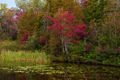 Red maple trees at a lake Royalty Free Stock Photography