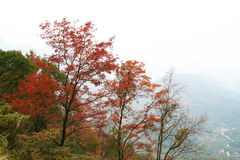 Red maple trees over the hill in autumn Royalty Free Stock Images