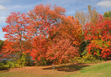 Red Maple trees. At pond-side upstate rural New York acer rubrum Royalty Free Stock Photo
