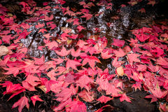 Red maple on water stream Stock Photography