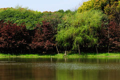 Red maple and willow trees around a lake Royalty Free Stock Photography