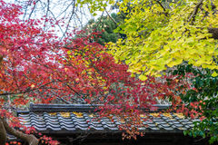 Red maple and yellow ginkgo biloba leaves on trees over roof Royalty Free Stock Image