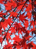 Red Maples. Red maple leaves against a blue sky Stock Images