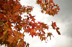 Red maples in autumn in Tuscany Stock Photos