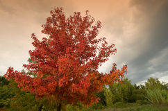 Red maples in autumn in Tuscany Royalty Free Stock Photo