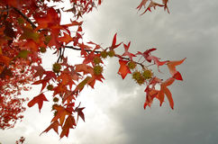Red maples in autumn in Tuscany Royalty Free Stock Photography