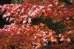 The red maples. The beatiful maple in Japan Stock Image