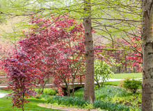 Red Maples in Green Garden Royalty Free Stock Image