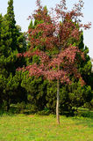 Red Maples and Green Pines Royalty Free Stock Image