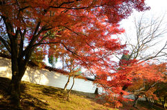 Red maples and Japanese traditional white wall Royalty Free Stock Photo