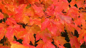 Red maples leaves. Gentle breeze on branch of red maples leaves stock video