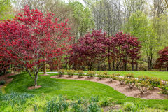 Red Maples in Lush Garden Royalty Free Stock Photography