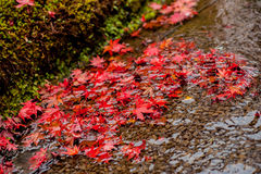 Red maples. In a stream Stock Images