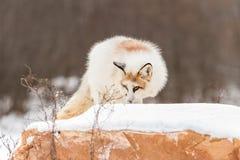 Red Marble Fox Vulpes vulpes Atop Rock. Captive animal Royalty Free Stock Image