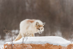 Red Marble Fox Vulpes vulpes Looks Up From Rock Stock Photo