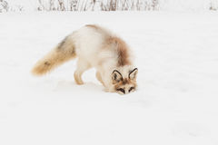 Red Marble Fox Vulpes vulpes Nose Buried in Snow. Captive animal Royalty Free Stock Photos