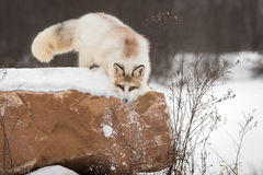 Red Marble Fox Vulpes vulpes Pushes Snow Down Side of Rock Stock Photos