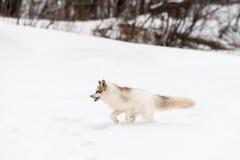 Red Marble Fox Vulpes vulpes Runs Left Through Snow. Captive animal Stock Photo