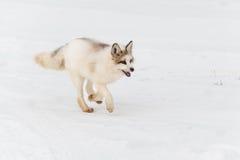 Red Marble Fox Vulpes vulpes Runs Right Royalty Free Stock Image