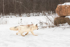Red Marble Fox Vulpes vulpes Trots Right Stock Photo