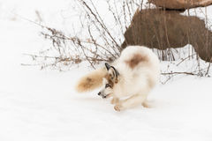 Red Marble Fox Vulpes vulpes Turns Back Stock Photography