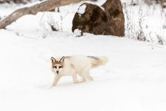Red Marble Fox Vulpes vulpes Walks Left Stock Image