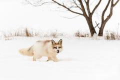 Red Marble Fox Vulpes vulpes Walks Right Through Snow. Captive animal Royalty Free Stock Image