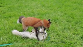 Red and marbled fox in leashes play cheerfully on a green lawn. stock video footage
