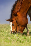 Red mare with foal Stock Photos