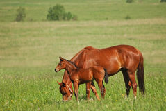 Red mare and red colt. The Red mare and red colt are grazed in a floor Royalty Free Stock Photography