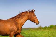 Red mare run royalty free stock images