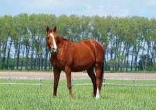 Red mare on  summer meadow Royalty Free Stock Image