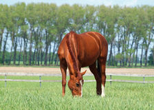 Red mare on  summer meadow Stock Images