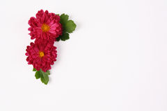 Red marguerite Royalty Free Stock Photography